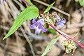 Campanula rapunculoides in Chablais (4).jpg
