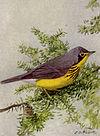 Canada Warbler NGM-v31-p320-D