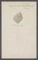 Cancellaria asperella - - Print - Iconographia Zoologica - Special Collections University of Amsterdam - UBAINV0274 084 05 0005.tif