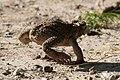 Cane Toad Bentsen Rio-Grande SP Mission TX 2018-03-20 08-26-52 (40885199252).jpg