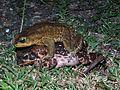 Cane Toads in Amplexus - Flickr - treegrow.jpg