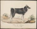 Canis lupus familiaris - 1818-1842 - Print - Iconographia Zoologica - Special Collections University of Amsterdam - UBA01 IZ22300123.tif