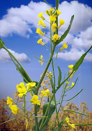 English: A Canola plant in bloom.