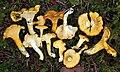 Cantharellus formosus Corner 568303.jpg