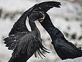 Cape Cormorants (198330163).jpeg