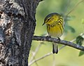 Cape May Warbler (37030335313).jpg
