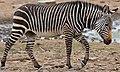 Cape Mountain Zebra (Equus zebra zebra) (33007816806).jpg