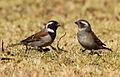 Cape Sparrow, Passer melanurus at Walter Sisulu National Botanical Garden, Johannesburg, South Africa (14541263980).jpg
