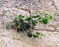 Capparis spinosa jerusalem 4.jpg