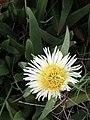 Caprobrotus edulis (Aizoaceae) (4582072366).jpg
