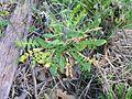 Capsella bursa-pastoris leaves1 (12082516793).jpg