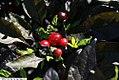 Capsicum annuum Black Pearl 4zz.jpg