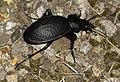 Carabus-coriaceus-02-fws.jpg
