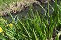 Carex dispalata 126891014.jpg