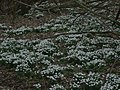 Carpet of snowdrops - geograph.org.uk - 345097.jpg