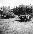 Carros de bous als voltants de Camprodon.jpeg
