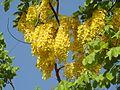 Cassia fistula flowers by Dr. Raju Kasambe DSCN4427 06.jpg