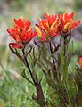 Castilleja peirsonii Peirsons paintbrush red closeup.jpg