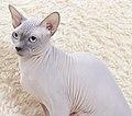 Cat - Sphynx. img 084.jpg