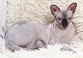Cat - Sphynx. img 093.jpg