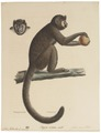 Cebus fatuellus - 1818-1842 - Print - Iconographia Zoologica - Special Collections University of Amsterdam - UBA01 IZ20200073.tif