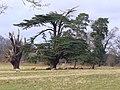 Cedar, Park Pale - geograph.org.uk - 719476.jpg