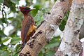 Celeus elegans Chestnut Woodpecker.jpg