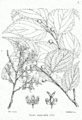 Celtis australis Bra50.png