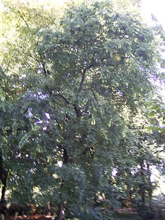 Celtis occidentalis 01-10-2005 12.46.JPG