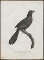 Centropus nigrorufus - 1796-1808 - Print - Iconographia Zoologica - Special Collections University of Amsterdam - UBA01 IZ18800155.tif