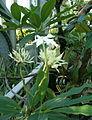 Cerbera manghas InflorescencesFlower BotGardBln0906a.jpg