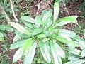 Cerbera manghas leaf.jpg