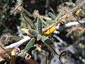 Cercocarpus ledifolius (5062619641).jpg