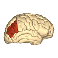 Cerebrum - angular gyrus - lateral view.png