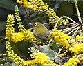 Ceylon White-eye ( Zosterops ceylonensis) - Flickr - Lip Kee.jpg