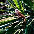Chameleon in sri lanka.jpg