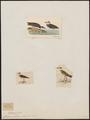Charadrius wilsonius - 1700-1880 - Print - Iconographia Zoologica - Special Collections University of Amsterdam - UBA01 IZ17200243.tif