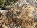 Cheatgrass (Bromus tectorum) - 12525980623.jpg