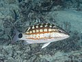 Checkered snapper (Lutjanus decussatus) (39898497403).jpg