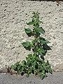 Chenopodium murale sl42.jpg