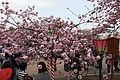 """Cherry-Blossom-Viewing through the """"Tunnel"""" at Japan Mint in 201504 037.JPG"""