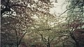 Cherry Blossoms Blooming at the Tidal Basin Monuments.jpg