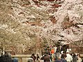 Cherry Trees of Daigo-Ji Temple - panoramio.jpg