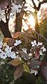 Cherry blossom (9792985395).jpg