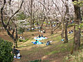Cherry blossoms in Mitsuzawa-park at Yokohama Japan.jpg