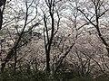 Cherry blossoms in Sasayama Park 25.jpg