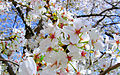 Cherry blosson flower DC.jpg