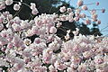 Cherry trees at Horseshoe Bay, West Vancouver, BC 01.jpg