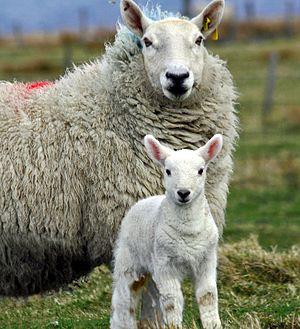 Cheviot sheep - A Cheviot ewe with her lamb