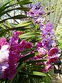 Chiang Mai Orchids P1110362.JPG
